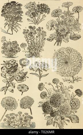 Dreer's garden calendar : 1883 . dreersgardencale1883henr Year: 1883  54 DREER'S GARDEN CALENDAR.    i. Dunnett's Darkest Crimson Candytuft. 2. Centaurea, Cyanus Minor, or Blue Bottle. 3. Double Summer-Flowering Chrysanthemum. 4. Centranthus Variety. 5. Chrysanthemum Indicum Variety. 6. Double Inodofum Chrysanthemum. 7. Convolvulus Minor, or Dwarf Varieties. 8. Single Flowering Clakkia. 9. Double Daisy, or Bellis Perennis. 10. Dahlia, Large-Flowering Double Variety - Stock Photo