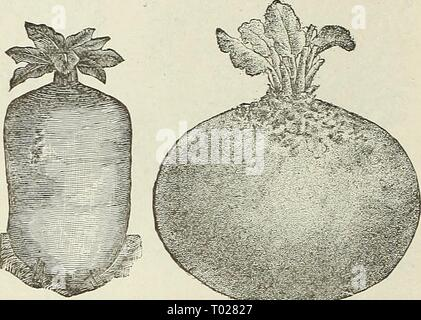 Dreer's garden calendar . dreersgardencale1890henr Year: 1890  Golden- Tankakd Mangel. Rhd Glode Mawgel. SUGAR BEETS. Improved Imperial White Sugar. An improvement on the other varieties of Sugar Beets; more hardy and containing a greater percentage of sugar. Pkt. 5 cts., oz. 10 cts., lb. 50 cts. Lane's Improved White Sugar. This Sugar Beet attains a large size, and grows considerably above the ground; fine for feeding. Pkt. 5 cts., oz. 10 cts., lb. 50 cts. White Sugar. A large growing variety, excellent for stock feeding and sugar-making. Pkt. 5 cts., oz. 10 cts., lb. 50 cts. Sugar Cane. A ve - Stock Photo