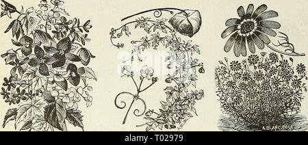 Dreer's garden calendar . dreersgardencale1890henr Year: 1890  60 DREER'S RELIABLE SEEDS    Tuberous Begonia. Cardiospermum. BALSAM APPLE AND BALSAM PEAR (See Momordica). BALLOON VINE. (Love in a PufF.) A rapid-growing plant; succeeds best in a light soil and warm situation ; flowers white ; half hardy annual; 5 feet. PER PKT. 5272 Cardiospermum Halicacabum. Per oz. 30 cts 5 BAPTISIA. (False Indigo.) A beautiful hardy perennial herbaceous plant, pro- ducing pea-shaped flowers, on spikes 6 inches long. 5274 Australis. Bright blue; 2J feet 10 BARTONIA. Producing showy flowers, above its gray and - Stock Photo