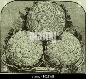 Dreer's garden calendar : 1881 . dreersgardencale1881henr Year: 1881  PERFECTION' DRUMHEAD SAVOY CABBAGE. - Stock Photo