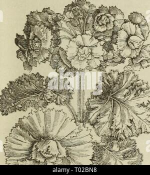 Dreer's garden calendar : 1883 . dreersgardencale1883henr Year: 1883  DOUBLE CINERARIA, OR CAPE ASTER    DOUELE ACROCLINIUM ROSEUM. - Stock Photo