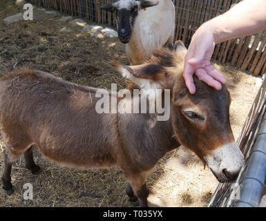 A small donkey gets a petting from a visitor in the zoo, while a white sheep looks on - Stock Photo