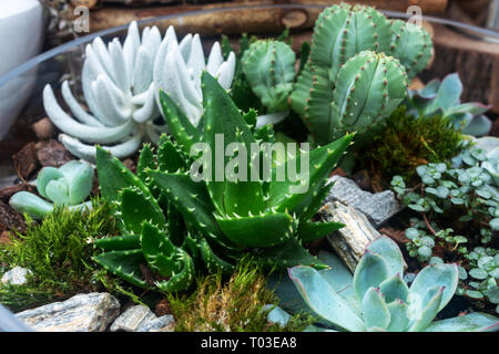 several cacti in a glass pot, other green plants - Stock Photo