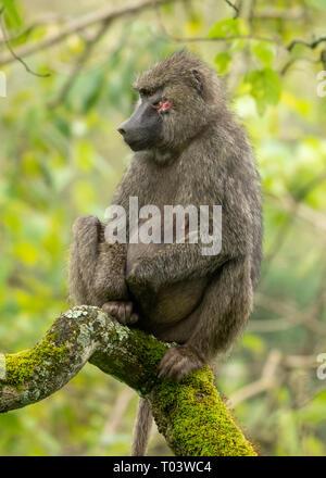 Female Olive Baboon, Papio anubis, in Arusha National Park, Tanzania - Stock Photo