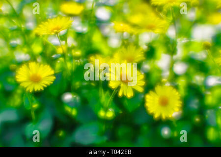 Bush yellow daisies doronikum on the garden bed. The photo was taken on a soft lens. Blurring art. - Stock Photo
