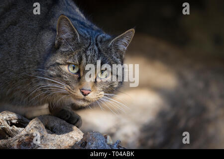 Wild Cat (Felis silvestris) portrait. Pyrenees. Catalonia. Spain. Captive. - Stock Photo