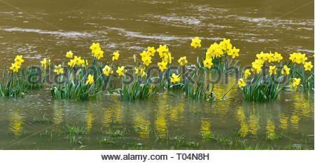 Daffodils in floodwater on the River Severn in the Quarry Park, Shrewsbury, Shropshire, England, UK - Stock Photo