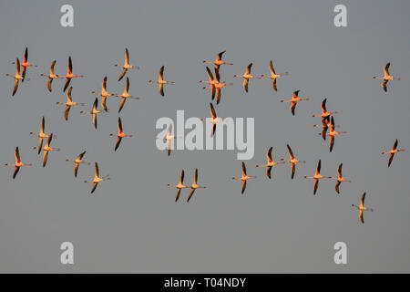 A flock of lesser flamingos flying in formation - Stock Photo