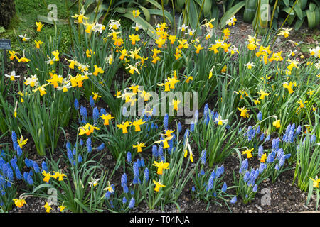 Colourful flower bed with miniature daffodils (Narcissus) and grape hyacinths (Muscari) during March, early spring, blue and yellow flowers, UK - Stock Photo