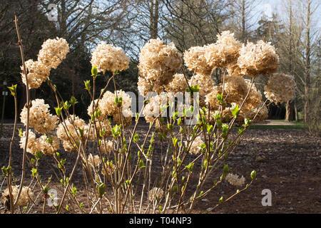 Hydrangea macrophylla bush flower dead heads (deadheads) in an English garden - Stock Photo