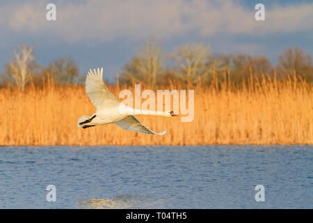 white swan flies over the lake, spring migration - Stock Photo