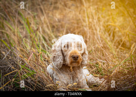 A cute spoodle lying in the grass after his long walk - Stock Photo