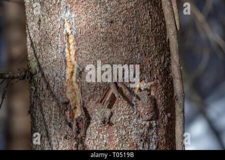 Spruce bark. Picea abies trunk. Resin. - Stock Photo