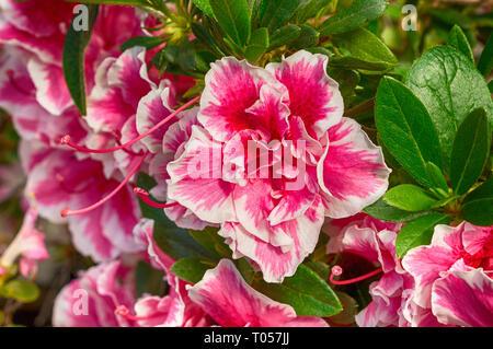Blossoming pink azalea close up - Stock Photo