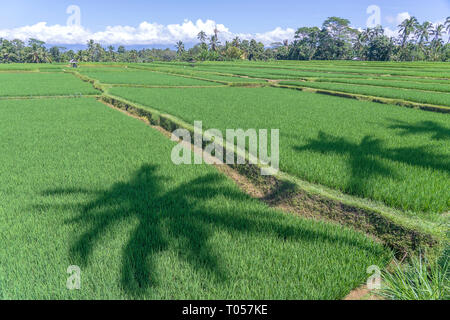 Landscape with green rice fields and palm trees at sunny day in island Bali, Indonesia. Nature and travel concept - Stock Photo