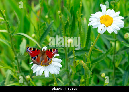 the European peacock butterfly sitting on the white  chamomilla flower petals. close up, macro. - Stock Photo