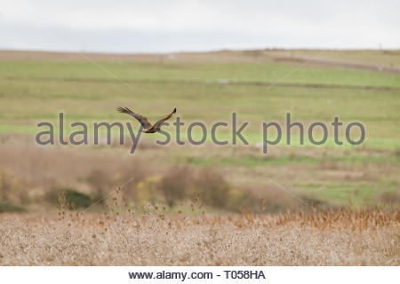 Marsh harrier (Circus aeruginosus) gliding over the fields at Bowers Marsh, England - Stock Photo