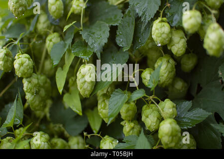 Green fresh hop cones for making beer and bread in the summer on hops field - Stock Photo