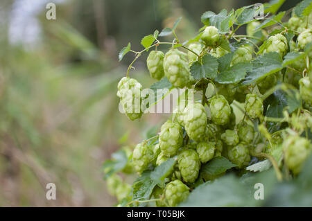 Green fresh hop cones for making beer and bread in the summer on hops field, copy space in the left corner of the photo - Stock Photo