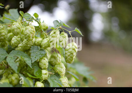 Green fresh hop cones for making beer and bread in the summer on hops field, copy space in the right corner og the photo - Stock Photo