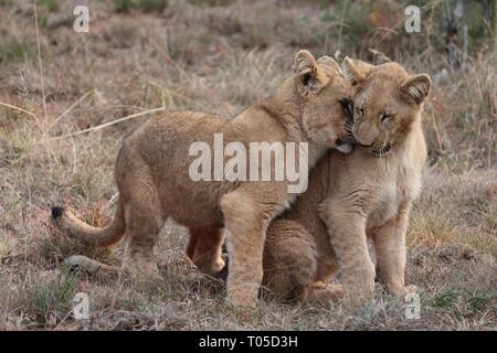 Saw these 2 cubs in schotia private game reserve. Reminds me of simba & nala of the lion king. - Stock Photo