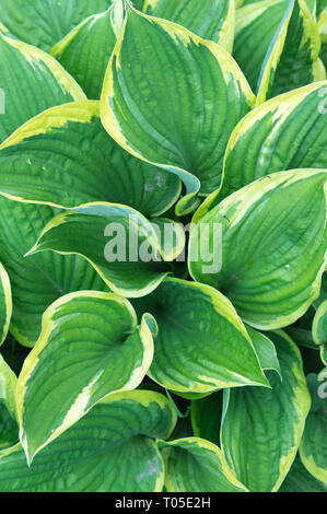 Beautiful vibrant motley hosta plant close up, white green background. Corrugated leaves hosts, tropical concept - Stock Photo