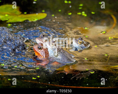 Mating Common Frogs 'Rana temporaria' in a garden pond on a sunny spring day - Stock Photo