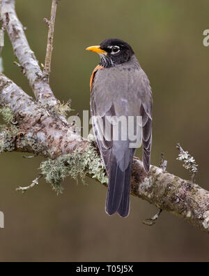 American Robin on Plum Branch - Stock Photo
