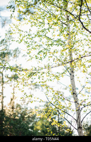 Young birch grows in the forest in spring among other trees on a sunny day. Spring time. - Stock Photo