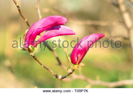 Young buds on pink magnolia. Magnolia Flower on Magnolia Tree. Young pink magnolia. Magnolia tree garden, beauty pin - Stock Photo