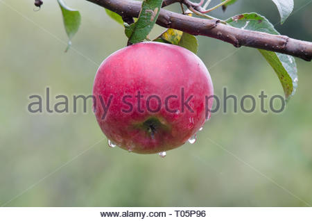 Apples, apple tree. Red apples on a tree in the garden with drops of autumn rain. Red apple with blurry background of green apple trees. - Stock Photo