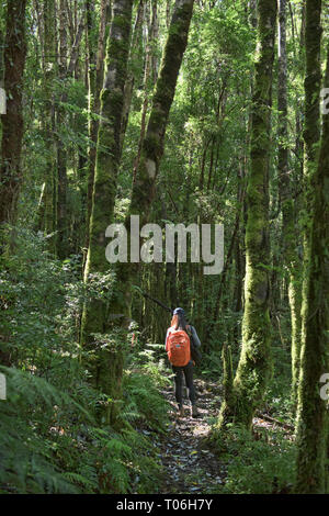 Trekking in temperate rain forest in Queulat National Park, Patagonia, Aysen, Chile - Stock Photo