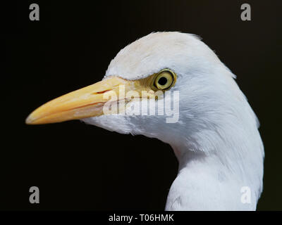 Closeup portrait of the Cattle egret (Bubulcus ibis) - Stock Photo
