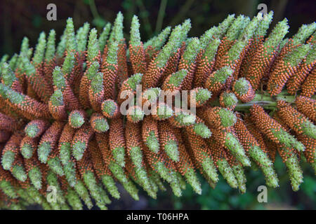 Giant nalca flower (Gunnera tinctoria), Queulat National Park, Patagonia, Aysen, Chile
