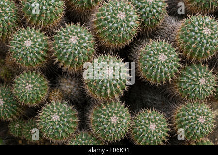 Close-up of several spiky Mammillaria compressa cacti viewed from above. - Stock Photo