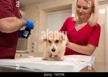 Veterinary doctors exam little corgi dog in manipulation room of pet clinic. Pet health care. - Stock Photo