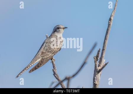 pallid cuckoo (Cacomantis pallidus) - Stock Photo