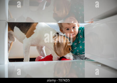 Dog with a cute caucasian baby girl. Beagle dog take and bite doll from cute baby girl in living room. Tight space under coffee table. Copy space. - Stock Photo
