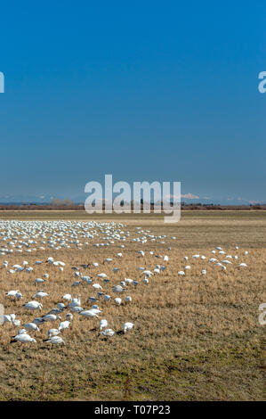 Overwintering migratory Lesser Snow Geese, Chen caerulescens, feeding and resting in an agricultural field at Brunswick Point, Ladner, BC. - Stock Photo