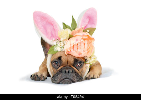 Cute fawn French Bulldog dog girl lying on floor with floral headpiece with big beautiful flowers luke peony roses and easter bunny ears on white back - Stock Photo