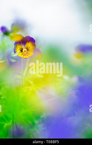 Violet (Viola sp.) flowers, Pansies, in the garden. - Stock Photo