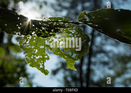 Sun rays shining through green and holey leaves on a tree - closeup - Stock Photo