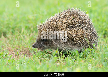 Hedgehog on green grass, hedgehog on nature - Stock Photo