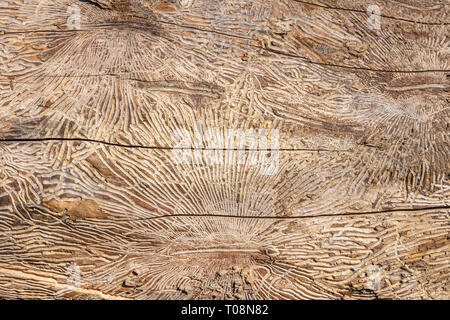 Pattern on tree trunk log after damage caused by bark beetle. Natural wooden texture background - Stock Photo