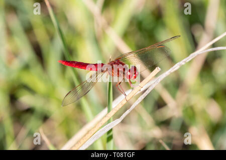 Male Broad Scarlet dragonfly (Crocothemis erythraea) perched on twig, Western Cape, South Africa, end of summer, red dragonfly - Stock Photo