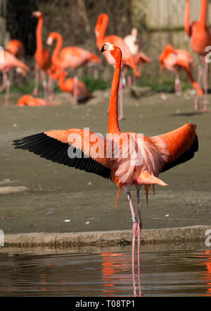 American flamingo, Phoenicopterus ruber, feeding, Wildfowl and Wetland Trust, Slimbridge, UK - Stock Photo