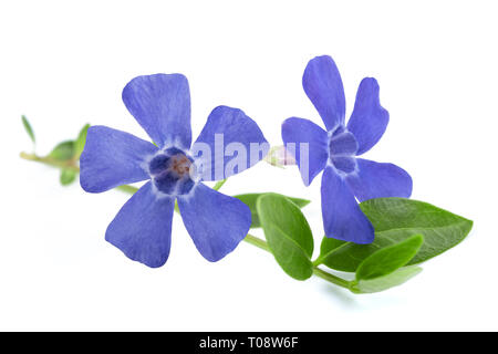 periwinkle branch with flowers isolated on white - Stock Photo