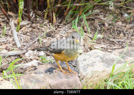 Olive Thrush, Turdus olivaceus, foraging in garden standing on stone edging, Western Cape, South Africa - Stock Photo