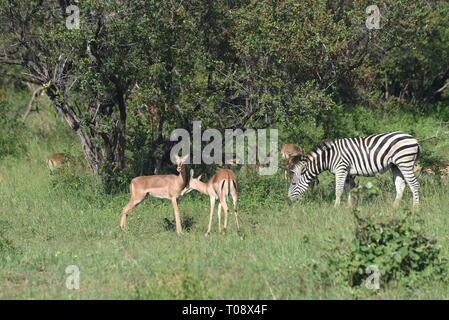 Impalas (Aepyceros melampus) and Zebra (Equus quagga) grazing. Photographed in Kruger National Park, South Africa. - Stock Photo