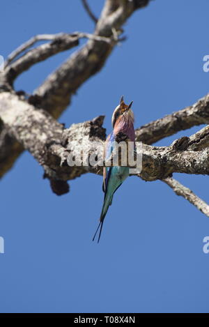 lilac-breasted roller (Coracias caudatus) eats a caught butterfly. Photographed at Kruger NP, South Africa in February - Stock Photo